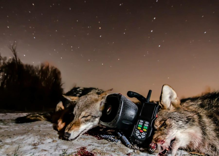 Two+coyotes+taken+by+Grand+Ledge+local%2C+Clint+Taylor.+Taylor+normally+hunts+during+the+night+hours.