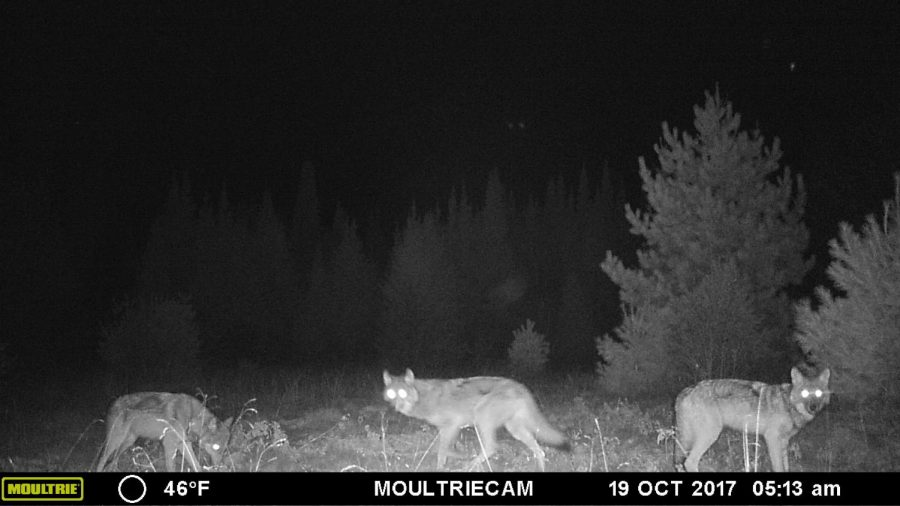 Three+wolves+in+the+upper+peninsula+looking+for+prey.+A+hunting+season+to+manage+wolves+could+be+coming+soon+to+the+Mitten+with+delisting+plans+in+the+works.