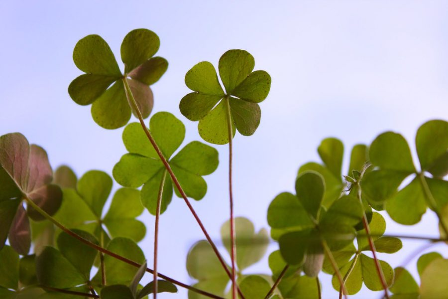 St. Patrick's Day is often symbolized with the four leaf,